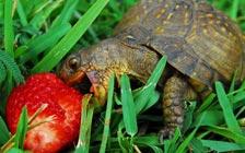 Черепаха ест клубнику.